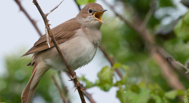 Певчие птицы: Соловей