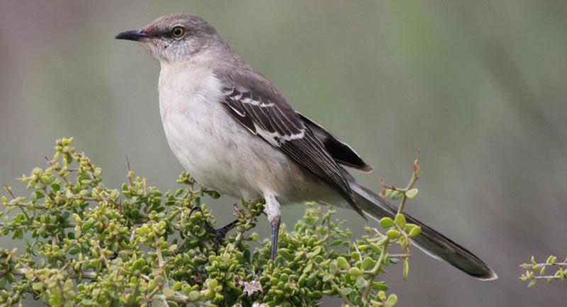 Певчие птицы: Многоголосый пересмешник