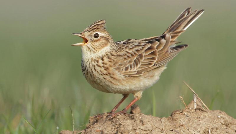 Певчие птицы: Полевой жаворонок