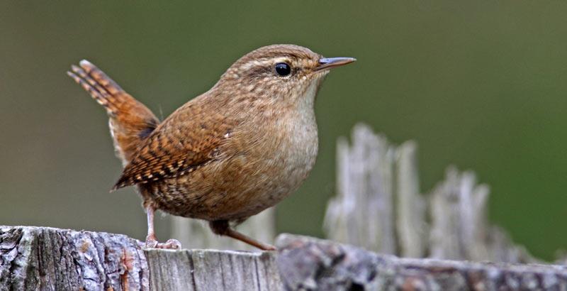 Певчие птицы: Крапивник