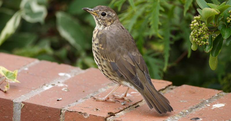 Певчие птицы: Певчий дрозд