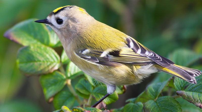 Певчие птицы: Желтоголовый королёк