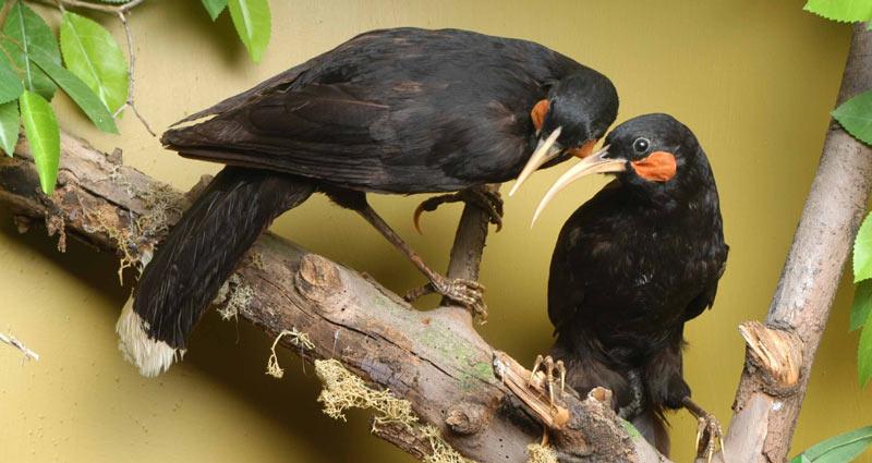 Певчие птицы: Разноклювая гуйя