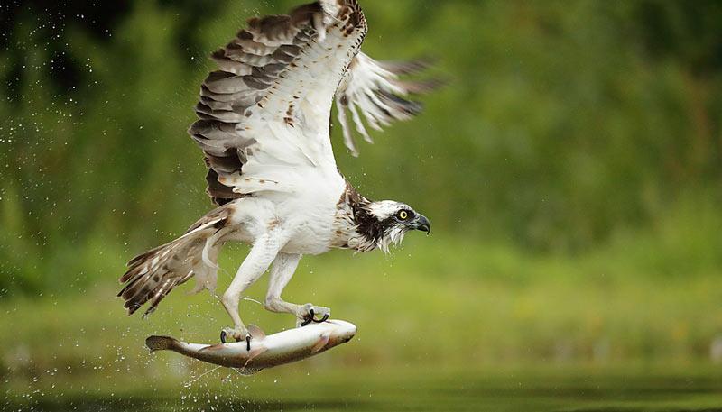 Скопа эффектно бросается за рыбой с высоты – заметив её с бреющего полёта