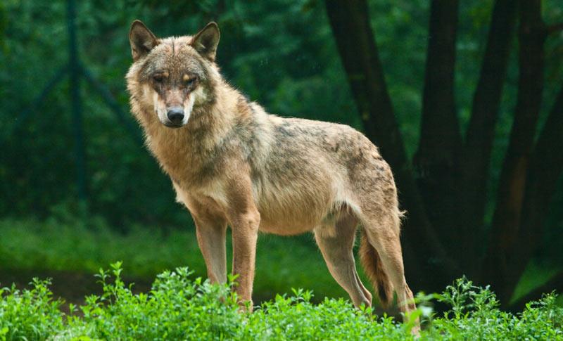 Животные Сибири: Волк