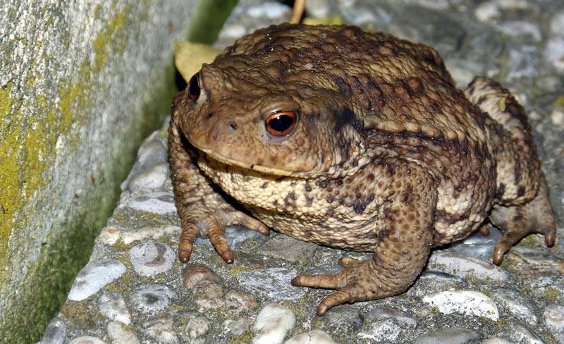 Животные Сибири: Серая жаба
