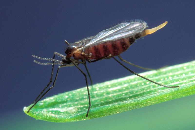 Животные Сибири: Гессенская муха