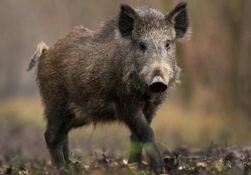 Животные Сибири: Кабан