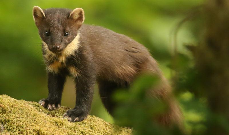 Животные Сибири: Куница