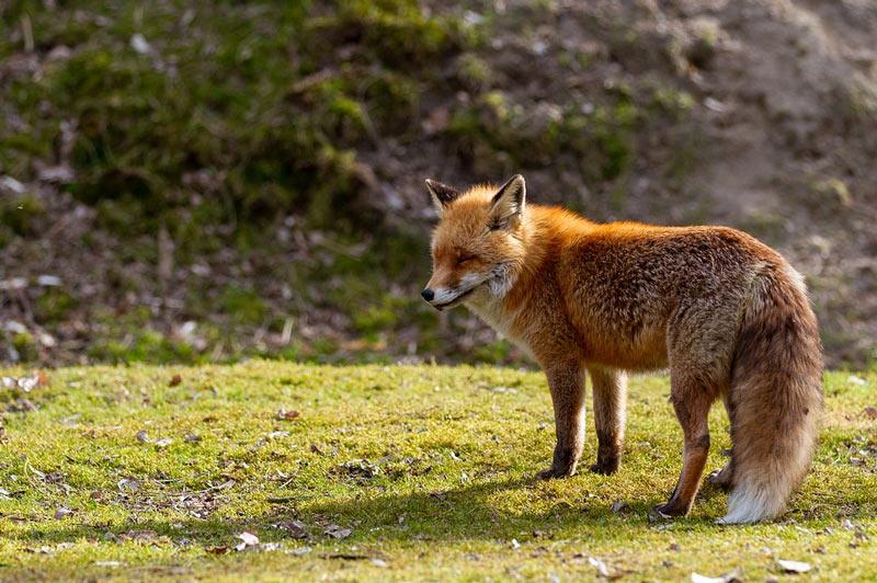 Животные Сибири: Лисица