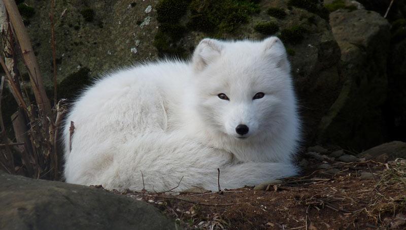 Животные Сибири: Песец