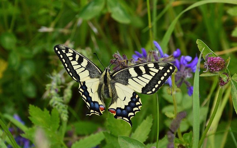 В Красном списке МСОП Papilio machaon находится в категории LC, как вид, вызывающий наименьшие опасения