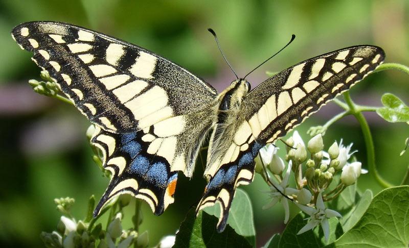 Бабочка махаон (лат. Papilio machaon)