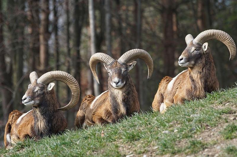 Муфлон всегда был ценным объектом для охотников (по большей части браконьеров)