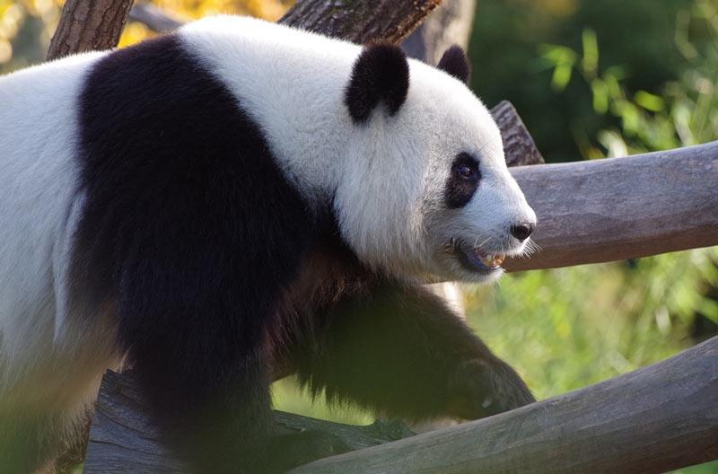 Животные Китая: Большая панда