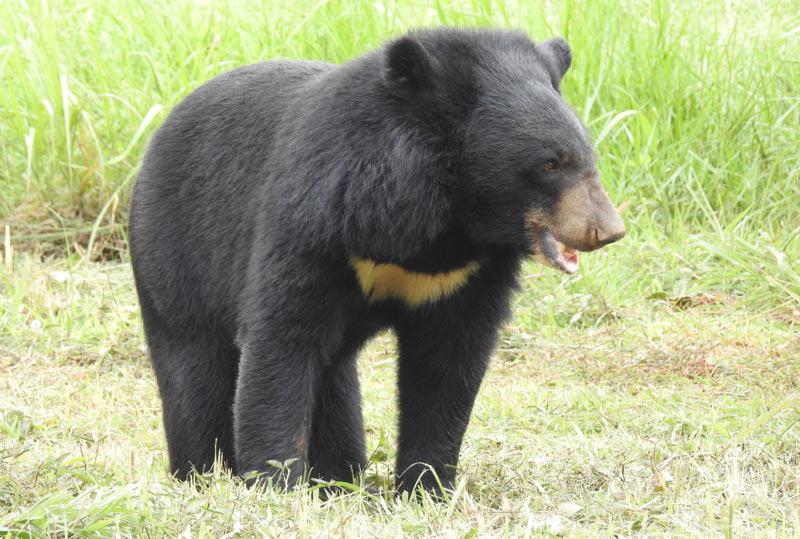Животные Китая: Гималайский медведь