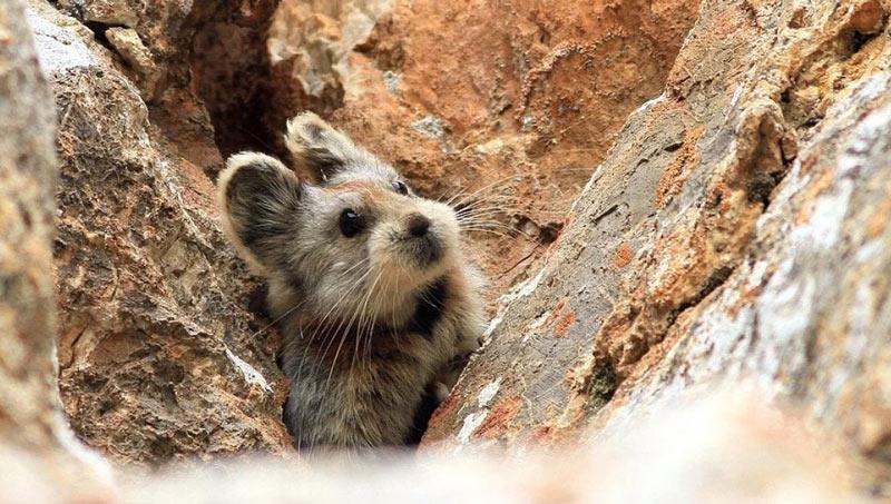 Животные Китая: Илийская пищуха