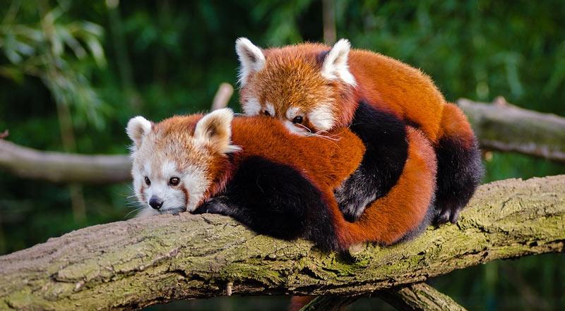 Животные Китая: Малая панда