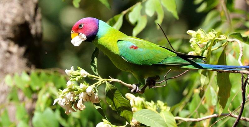 Животные Китая: Красноголовый кольчатый попугай