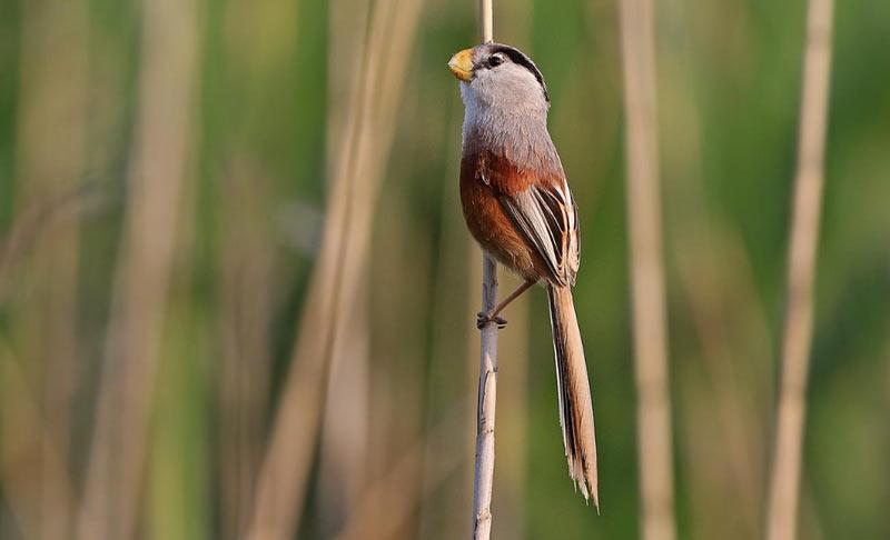 Животные Китая: Тростниковая сутора