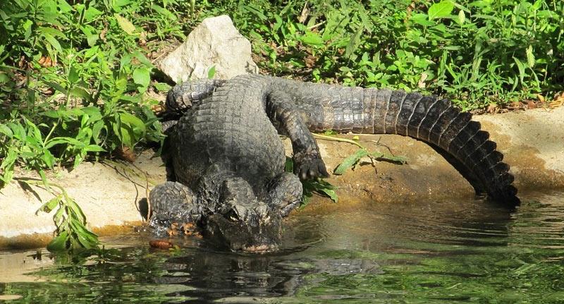 Животные Китая: Китайский аллигатор