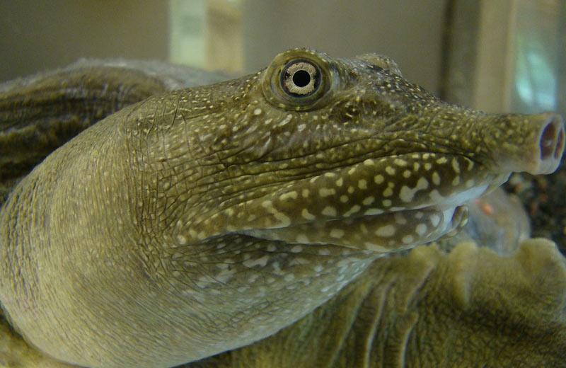 Животные Китая: Дальневосточная черепаха