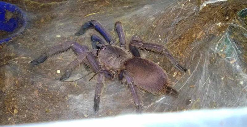 Животные Китая: Chilobrachys guangxiensis