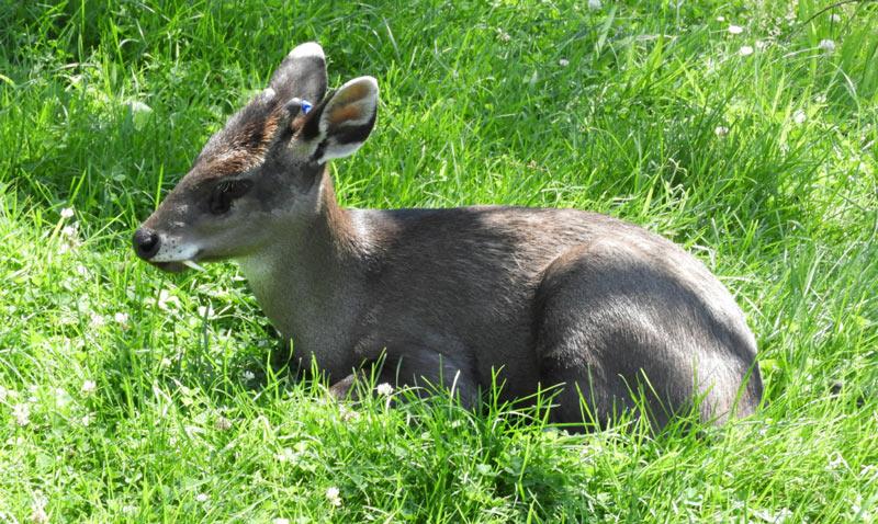 Животные Китая: Хохлатый олень