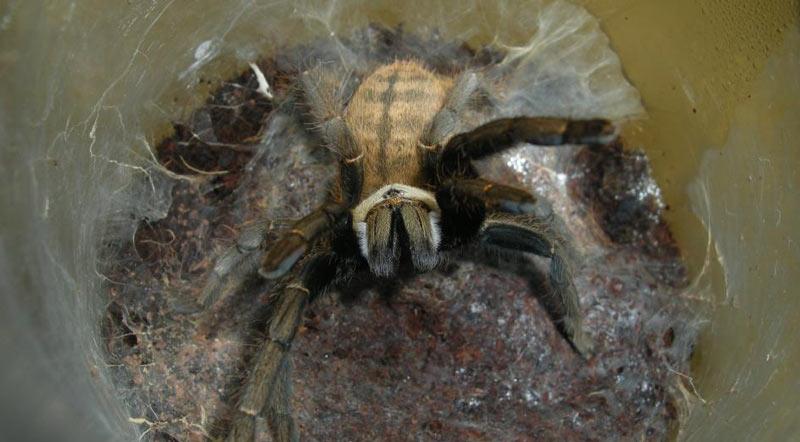 Животные Китая: Haplopelma schmidti