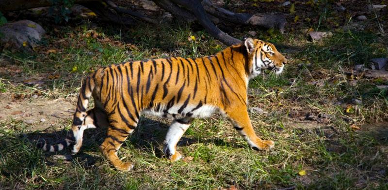 Животные Китая: Китайский тигр