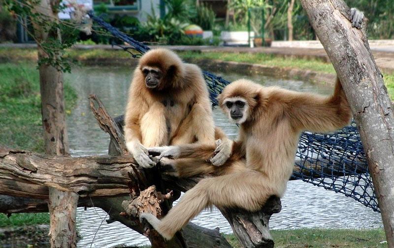 Животные Китая: Белорукий гиббон